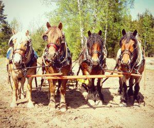 Från vänster; Lorie, Hoss, Custer och Dolly